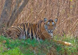 Essential Information About Tadoba Tiger Safaris and Tadoba Accommodation